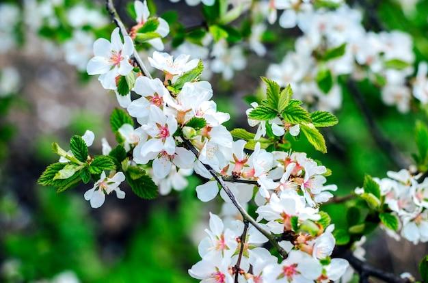 Cereja chinesa em flor na primavera, closeup