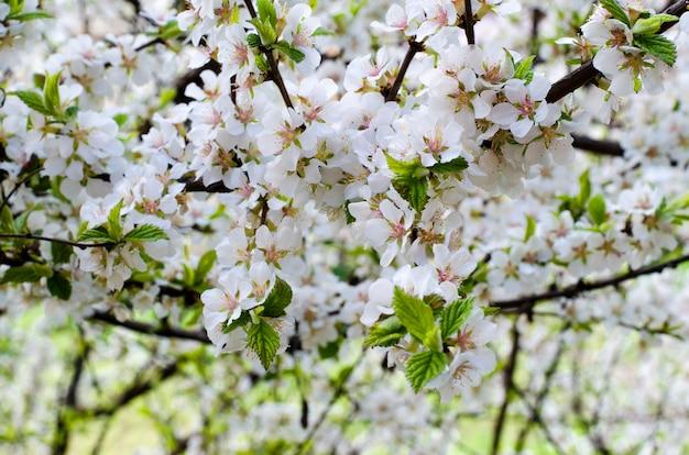 Cereja chinesa em flor na primavera, closeup Foto Premium