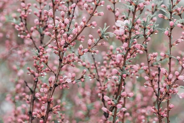 Cereja da mola que floresce, flores cor-de-rosa pequenas. fundo florido.
