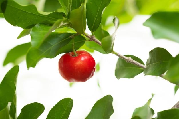 Cereja de acerola da tailândia em três. selecione o foco, cereja de barbados, malpighia emarginata, alto teor de vitaminas. fruta acerola.