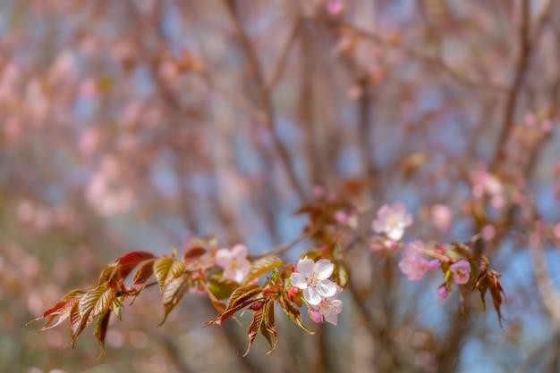 Cereja de floração sargent.