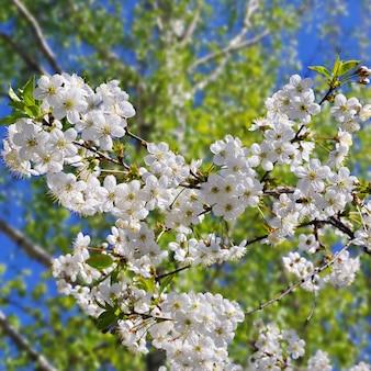 Cereja em flor contra o fundo de folhagem verde e céu azul