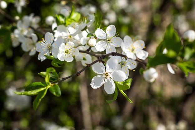 Cereja em flor de primavera com close-up de flores brancas