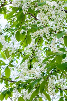 Cereja em flor (prunus padus, amora, árvore mayday) espalhou o aroma perfumado. a árvore de hackberry em plena floração à luz do sol. close-up da árvore de cereja de pássaro de flores. a primavera.