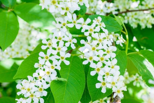 Cereja em flor (prunus padus) na luz solar suave. close-up da árvore de cereja de pássaro de flores. foto macro florescendo hagberry (árvore do mayday). a primavera.