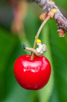 Cereja em um galho de cerejeira