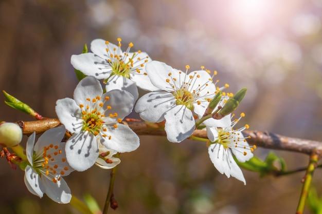 Cereja flores de ameixa em um escuro e ensolarado