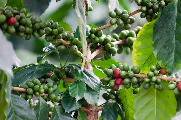 Cereja fresca de café no cafeeiro