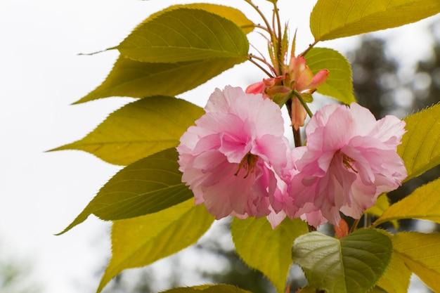 Cereja japonesa e flores rosa sakura em close-up no jardim