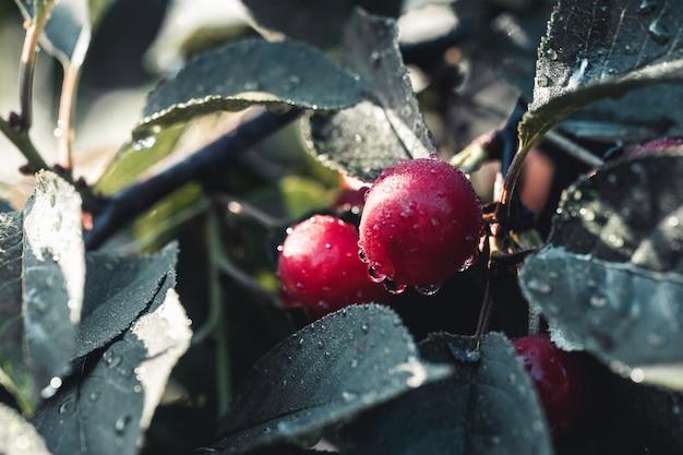 Cerejas azedas doentes, cerejas azedas podres. fruta orgânica. tiro macro.