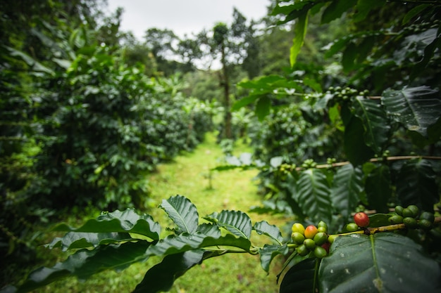 Cerejas de café da goma-arábica na árvore com as folhas verdes que crescem no norte de tailândia.