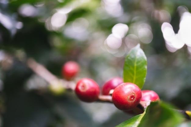Cerejas de café orgânico fresco com cafeeiro na parte norte da tailândia
