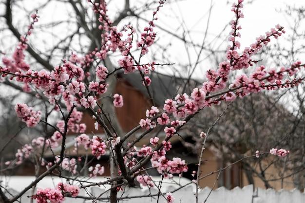 Cerejas de primavera, flores cor de rosa. árvores frutíferas floridas.
