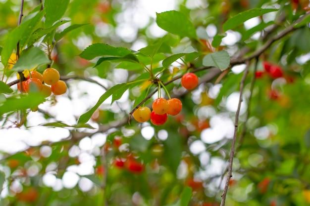 Cerejas maduras em uma árvore com folhagem verde e bokeh. um lindo pomar.