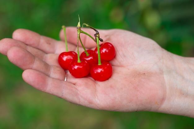 Cerejas maduras na palma da mão de uma mulher deliciosas frutas doces maduras cultivadas no jardim
