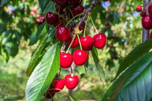 Cerejas maduras penduradas em um galho de cerejeira. gotas de água em frutas, pomar de cereja após a chuva