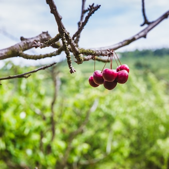 Cerejas maduras vermelhas orgânicas em um galho de árvore