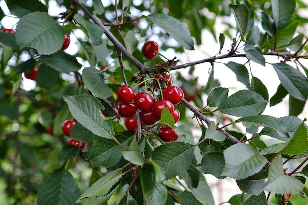 Cerejas penduradas em um galho de cerejeira.