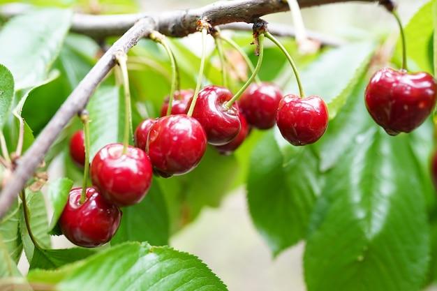 Cerejas vermelhas e doces em um galho pouco antes da colheita no início do verão