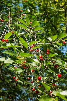 Cerejas vermelhas na árvore