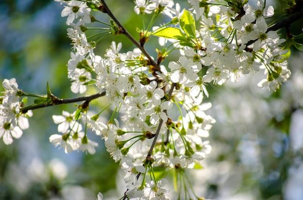 Cerejeira em flor branca densa na primavera no jardim