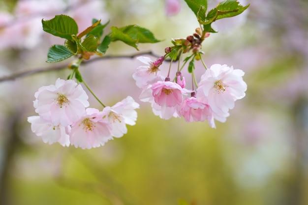 Cerejeira em flor com árvores turva ao fundo.