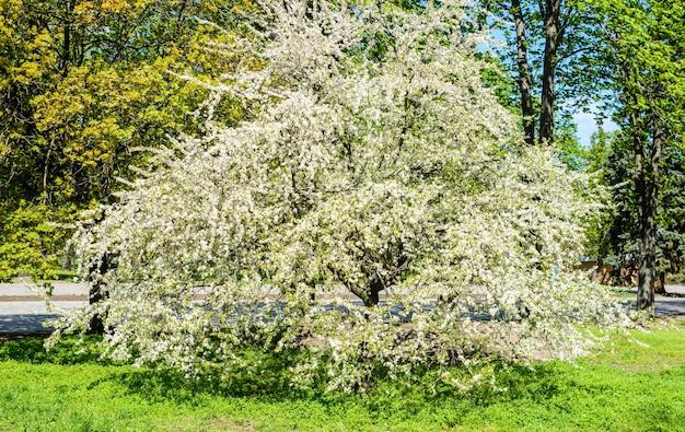 Cerejeira em flor em um parque na primavera