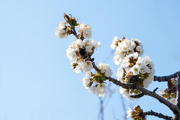 Cerejeira na moldávia