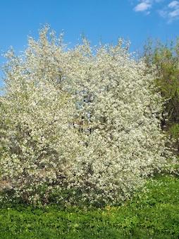 Cerejeira que floresce na primavera no céu azul em um dia ensolarado.