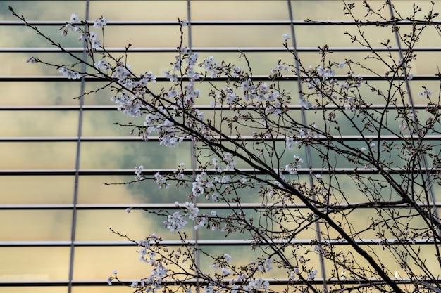 Cerejeira, sakura, árvore, flor, vidro, escritório, predios, fundo