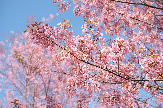 Cerejeira selvagem do himalaia floresce na temporada de primavera, rosa sakura flor para o fundo