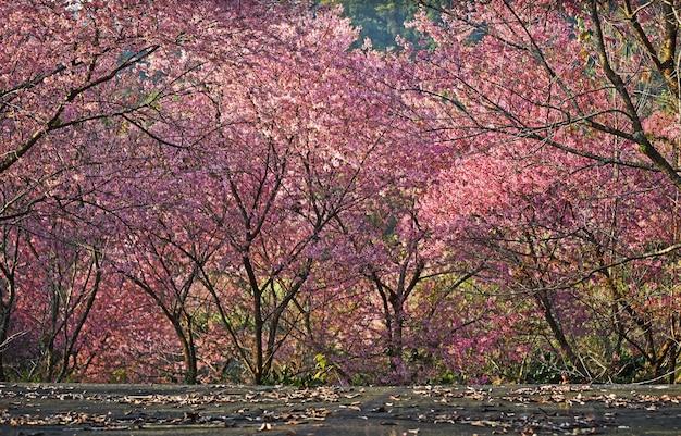 Cerejeiras em flor na primavera