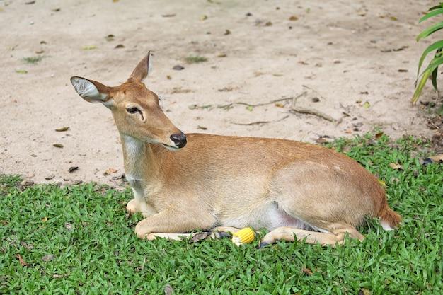 Cervo antílope sentado na grama com a floresta verde no fundo