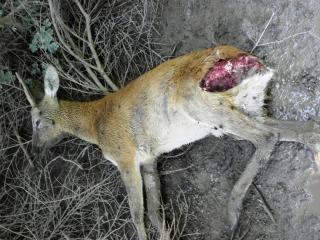 Cervo atacado por um urso pardo