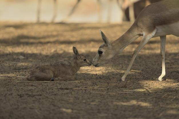 Cervo bebê, recebendo ajuda de sua mãe