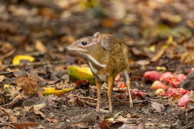 Cervo-rato-pequeno