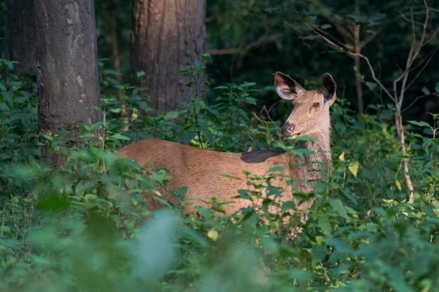 Cervo sambar na floresta