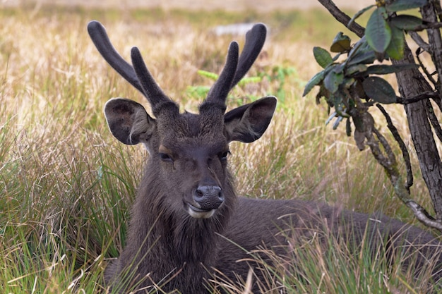 Cervo selvagem sambar ou cervus unicolor