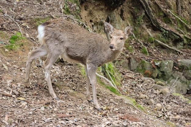 Cervos bonitos amigáveis selvagens japoneses no parque público nacional de nara.