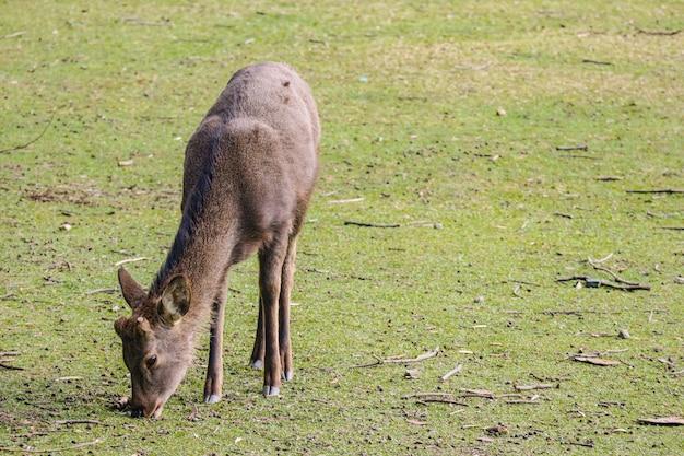 Cervos bonitos amigáveis selvagens japoneses que comem a grama seca.