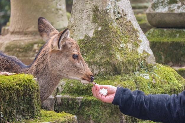 Cervos bonitos amigáveis selvagens japoneses que comem o alimento do turista.