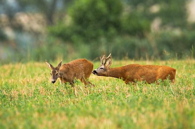 Cervos corvos seguindo a corça e lambendo-a para sentir os hormônios na época do cio