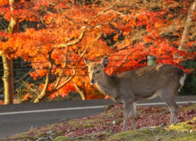 Cervos japoneses que comem a grama com a árvore vermelha das folhas de bordo.