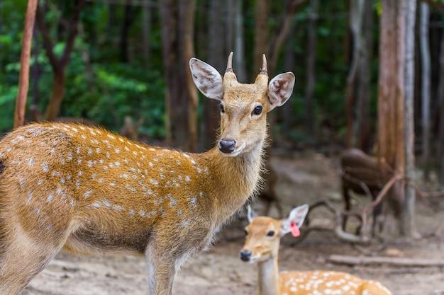 Cervos manchados que olham no parque público