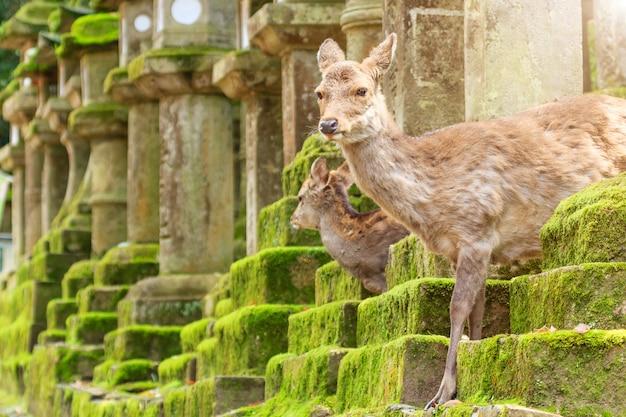 Cervos novos no parque de nara, japão. o cervo, o símbolo da cidade de nara