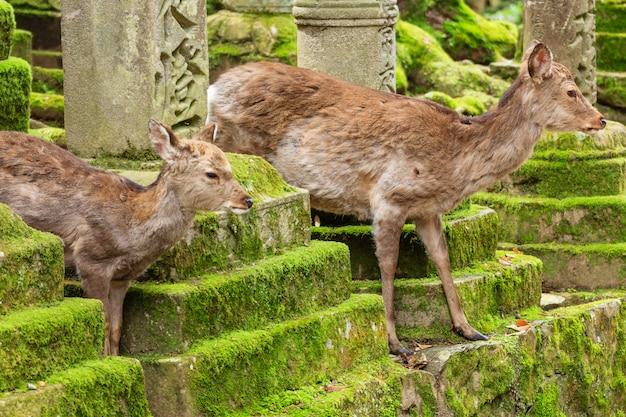 Cervos novos no parque de nara, japão.