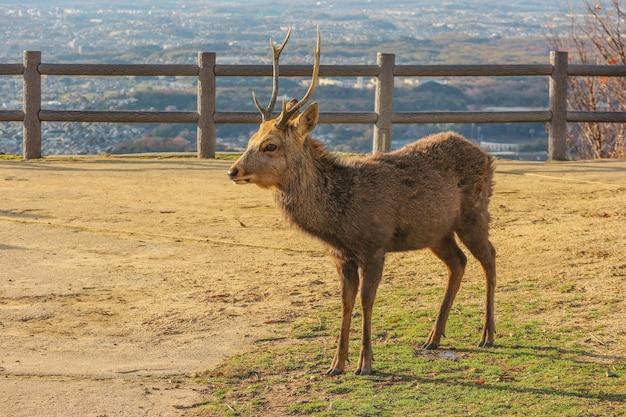 Cervos selvagens japoneses no topo da montanha de wakakusa.