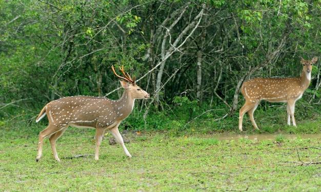 Cervos selvagens pintados no parque nacional de yala, sri lanka