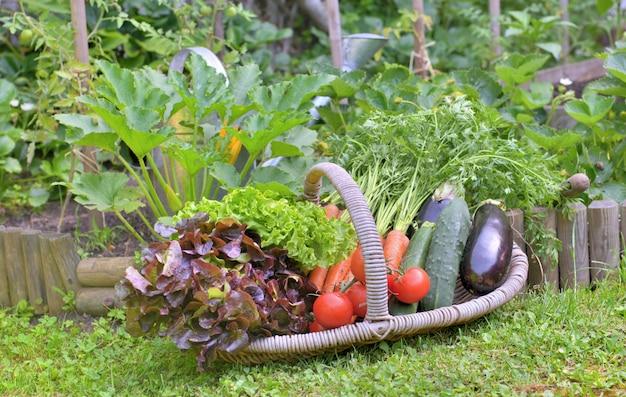 Cesta cheia de legumes de frescura, colocar na grama na frente de uma horta