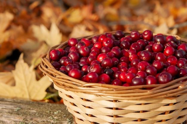 Cesta com cranberries em uma cesta em um outono. feriado nacional de cranberry e dia de ação de graças.